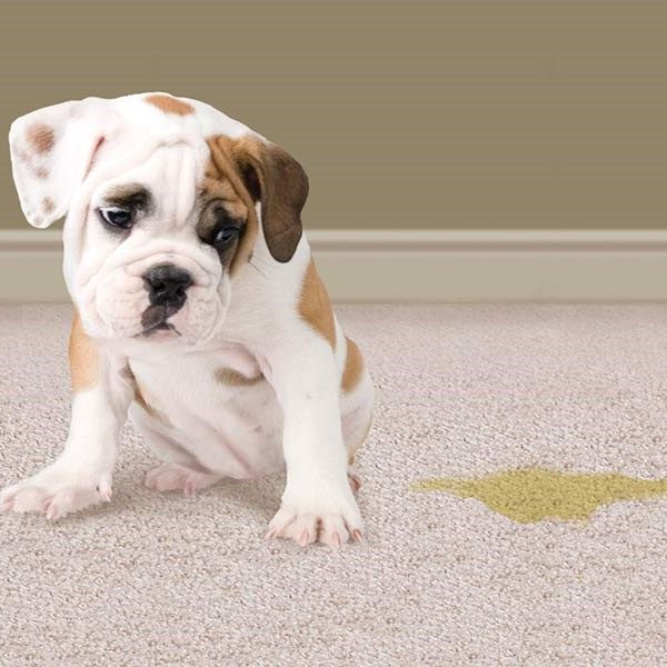 pet odor removal - Generations Carpet Cleaning